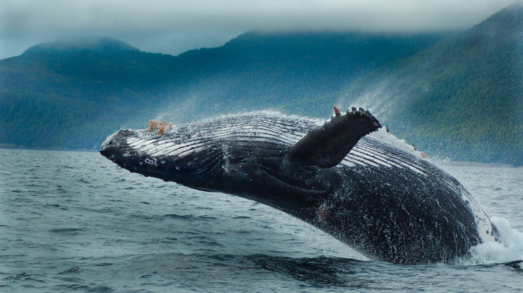 Chuck Shealy Whale In Flight