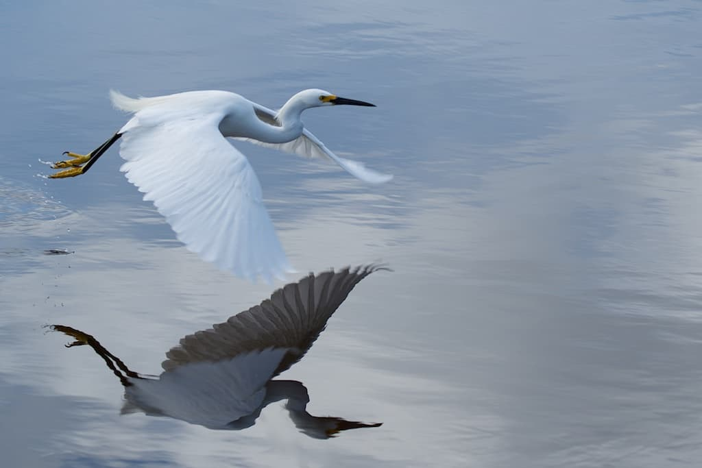 bird in flight over water with reflection