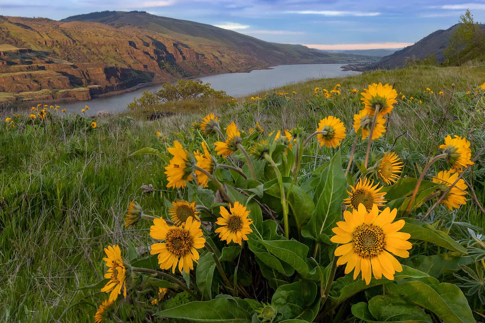 3.8.19_CeliaCarson_Wildflowers of Columbia River_450x300