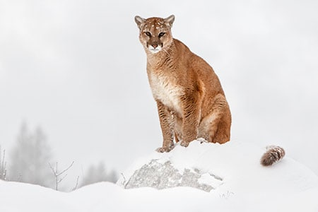 Mountain Lion Winter 450 300 70