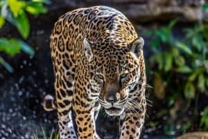 Zoo20160403_Leopard_2_JimGutru