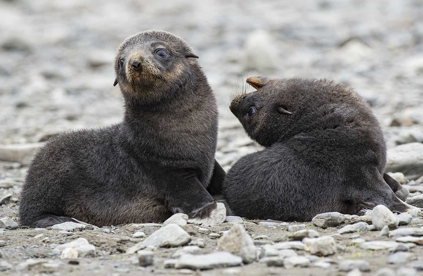 Baby Fur Seals Playing