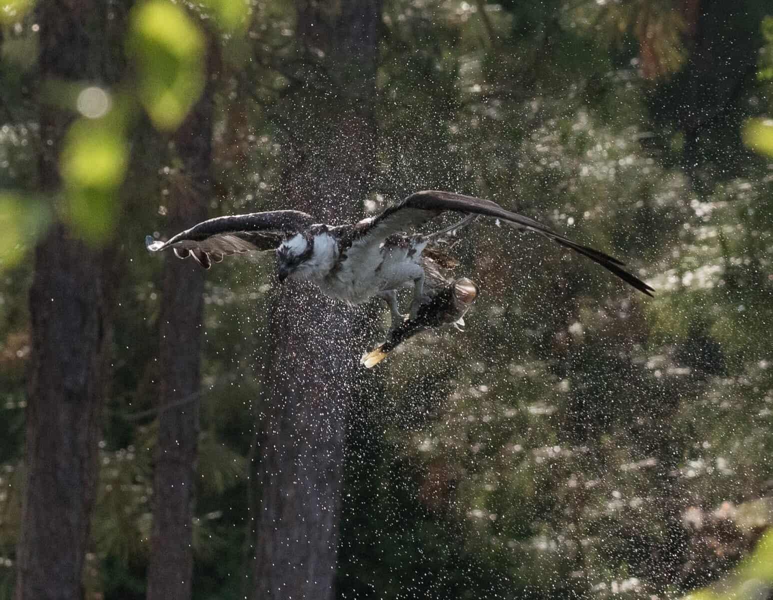 osprey largemouth
