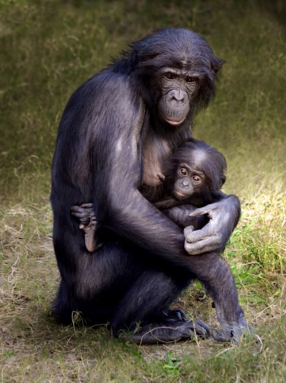 "Richard Bryce, ""Bonobo and Her Baby"""