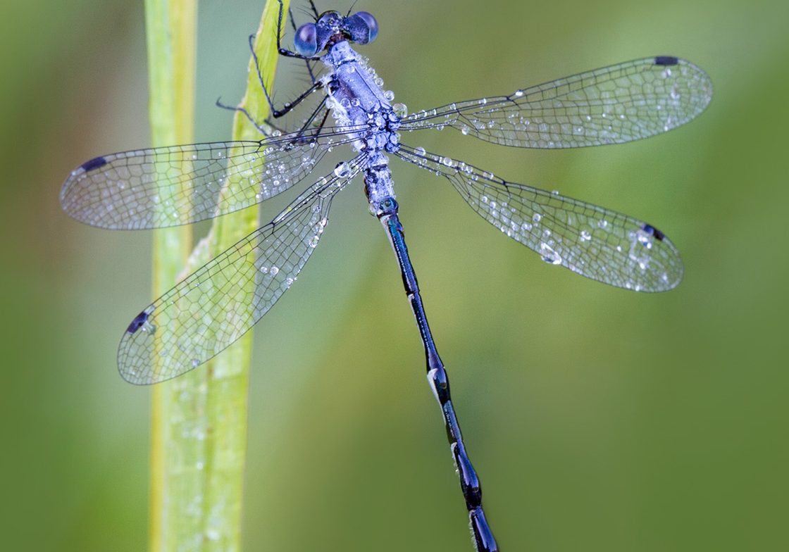 Dewy the Dragonfly