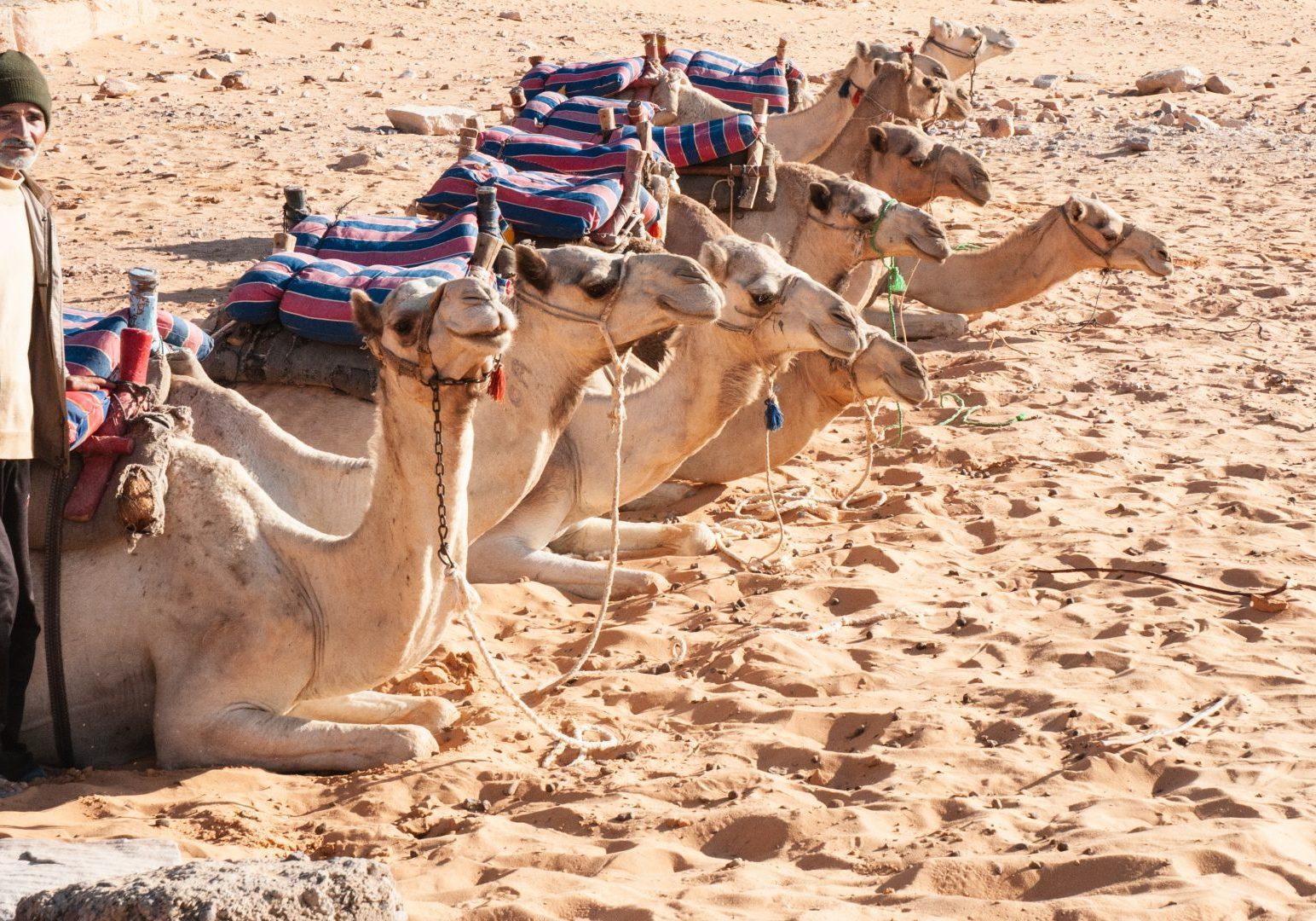 Egypt-camels
