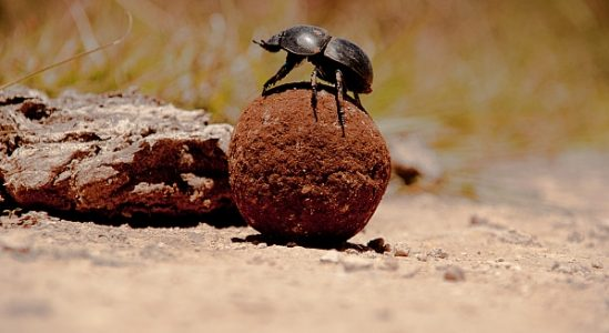 dung-bettle